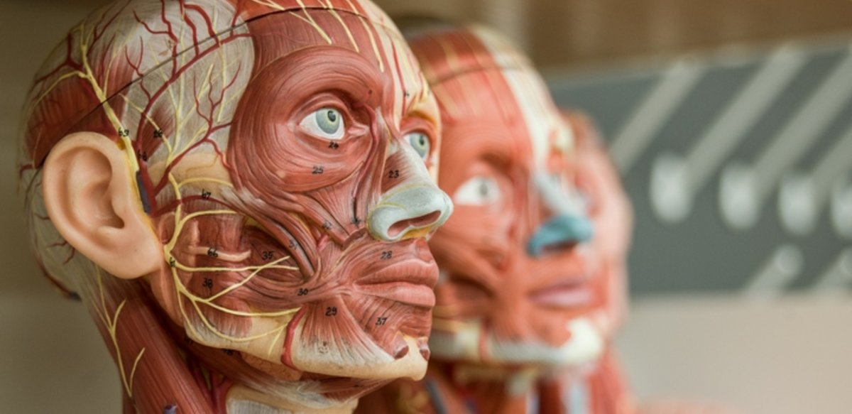models of human heads with no skin and the biological parts numbered